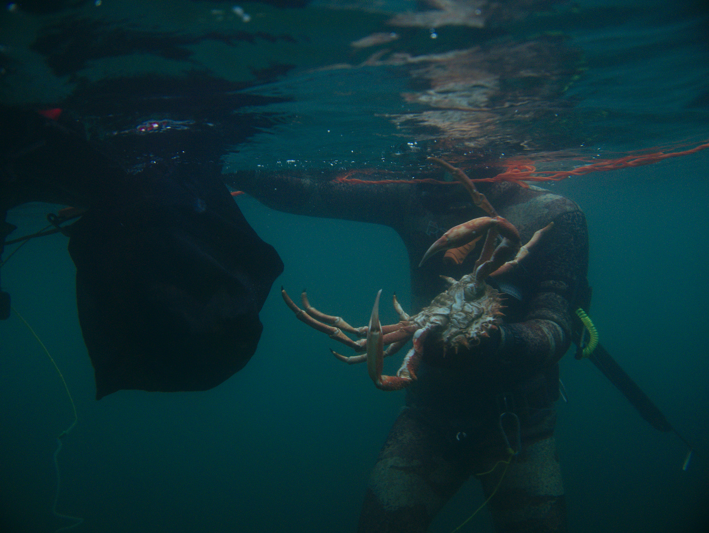 spider crab put in to bag after being caught spearfishing