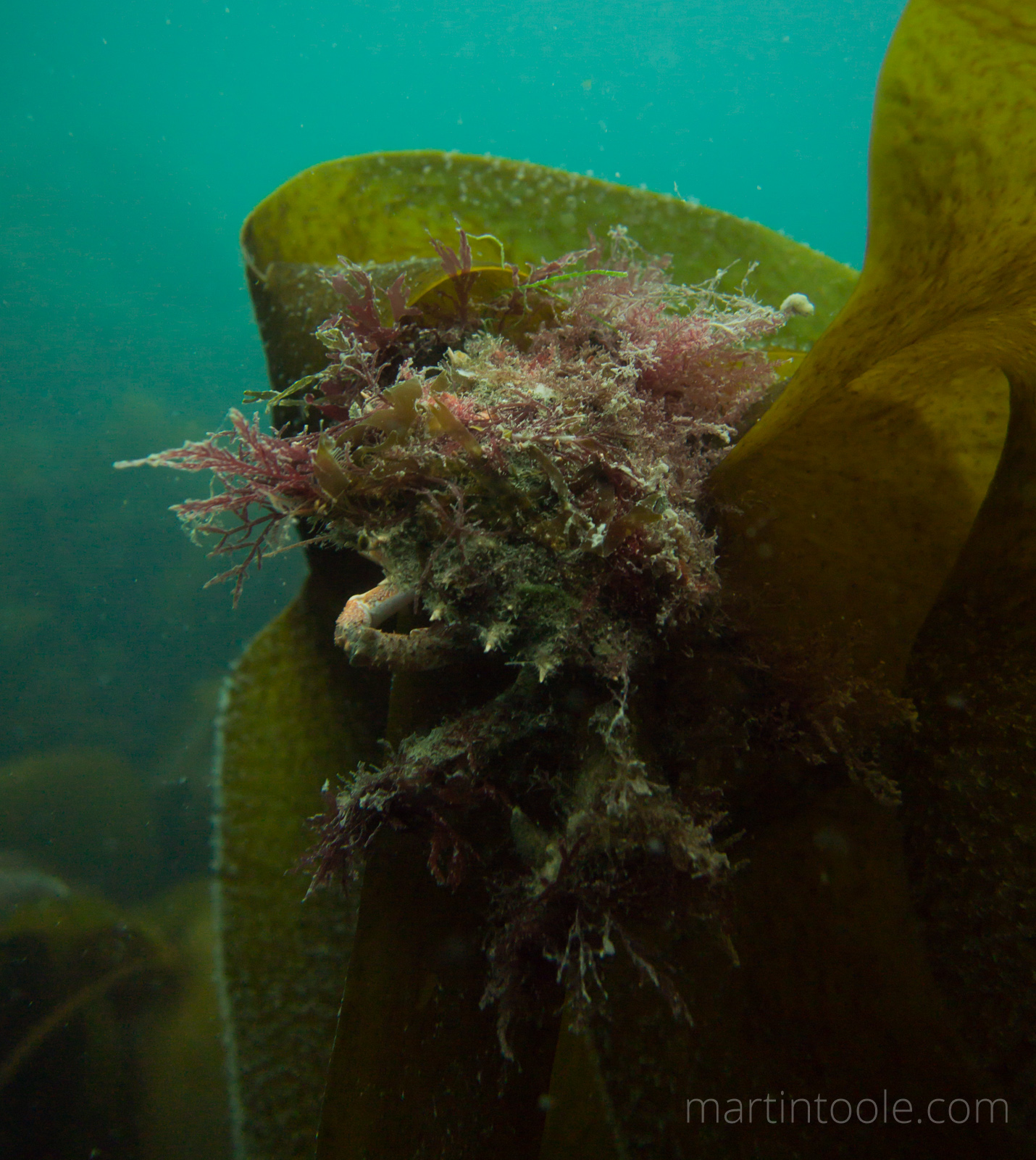 Spider Crab Amongst Kelp Seaweed At Martins Haven, Pembrokeshire