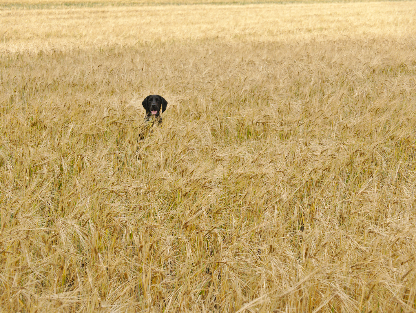 otter sat in a wheat field