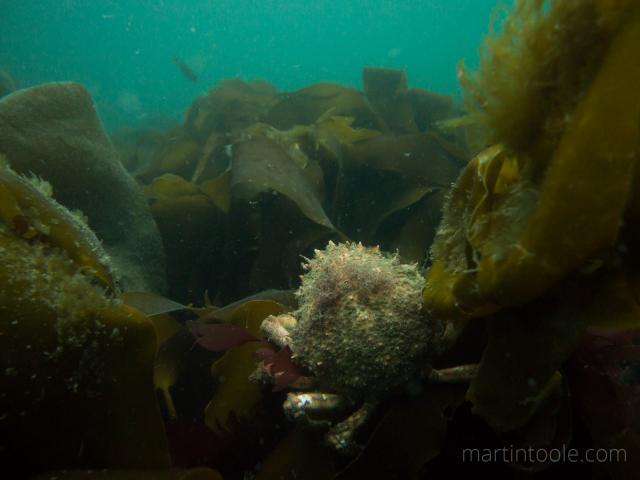 spider crab in kelp at martins haven pembrokeshire underwater