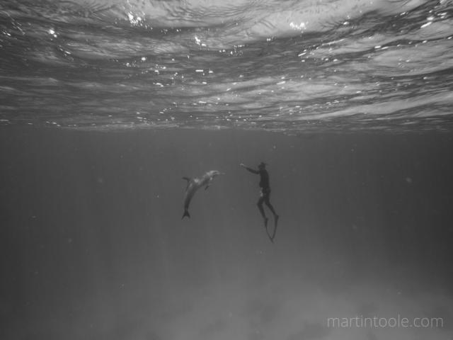 playing with bottlenose dolphins red sea egypt freediving